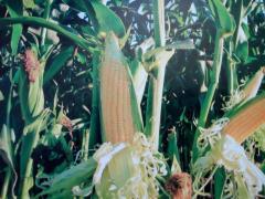 Монблан ФАО-320 Гибрид Кукурузы