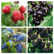 Seedlings of currant, BlackBerry, raspberry, cranberry, blueberry in Ukraine